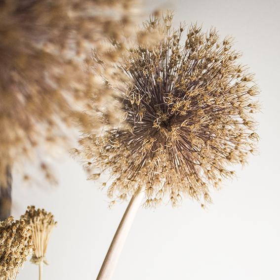 Allium head (c) Ella Johnston ellasplace.co.uk