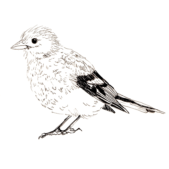 Bird of the fortnight. Quick sketch Chaffinch (c) Ella Johnston ellasplace.co.uk