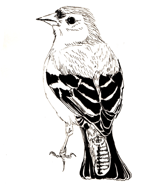 Bird of the fortnight. Quick sketch Chaffinch (c) Ella Johnston ellasplace.co.uk