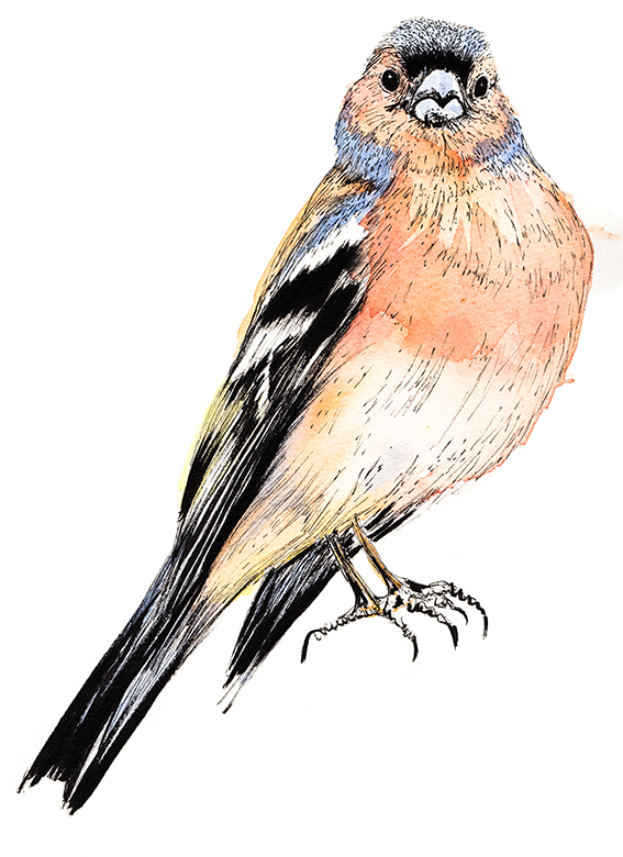 Chaffinch Illustration (c) Ella Johnston ellasplace.co.uk