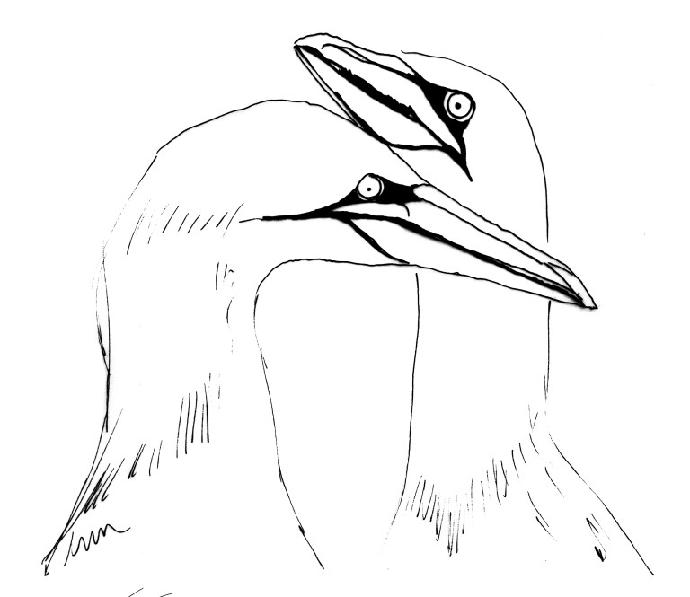 Bird of the fortnight. Quick sketch Gannet (c) Ella Johnston ellasplace.co.uk