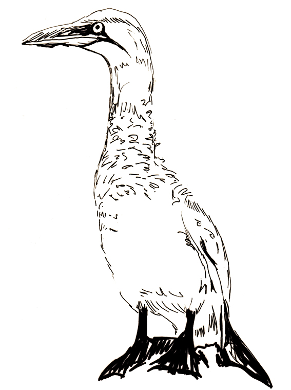 Bird of the fortnight. Quick sketch Gannet. (c) Ella Johnston ellasplace.co.uk