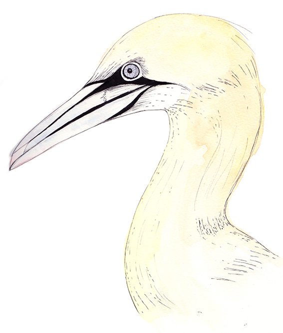 Gannet Illustration (c) Ella Johnston ellasplace.co.uk