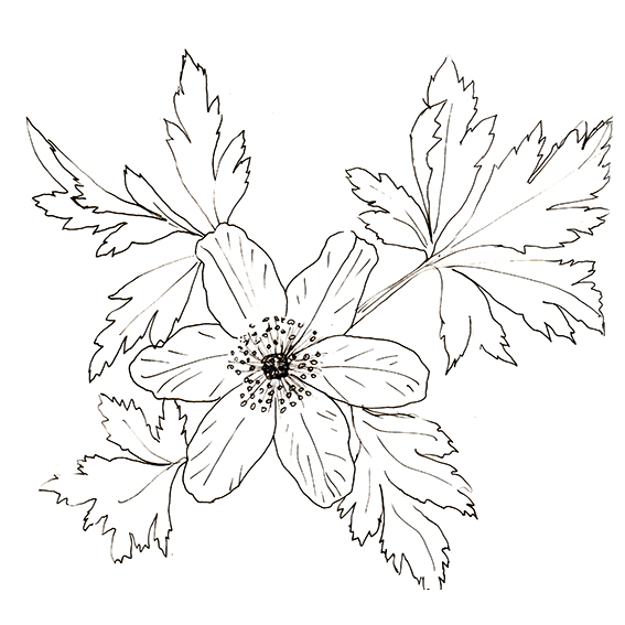 Flower of the fortnight. Quick sketch Anemone. (c) Ella Johnston ellasplace.co.uk