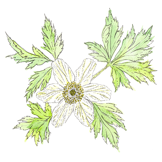 Wood Anemone Illustration (c) Ella Johnston ellasplace.co.uk