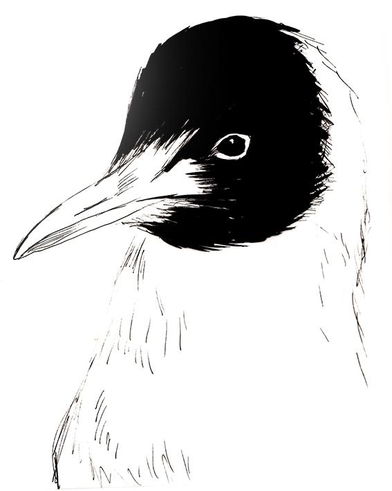 Blackheaded Gull Sketch Ella Johnston ellasplace.co.uk