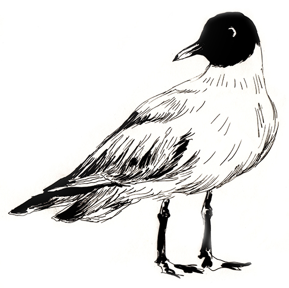 Blackheaded Gull Sketch Ella Johnston ellasplace.co.uk