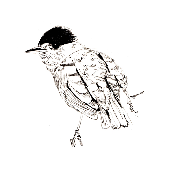 Bird of the fortnight. Blackcap bird illustration (c) Ella Johnston ellasplace.co.uk