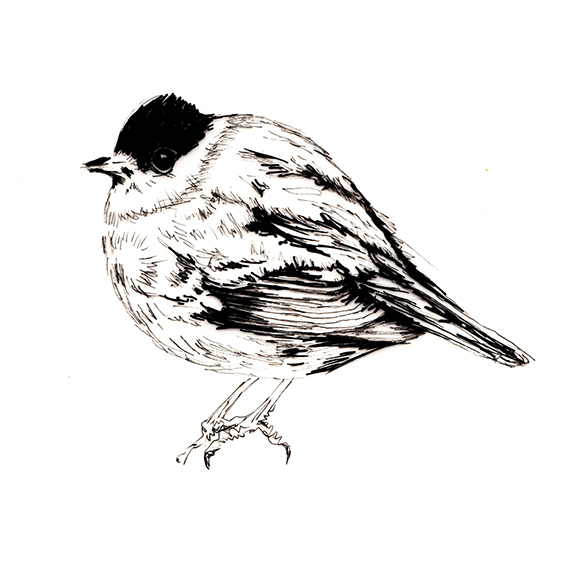 Bird of the fortnight. Blackcap bird illustration (c) Ella Johnston ellasplace.co.uk