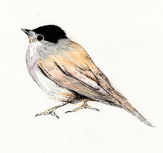 Blackcap bird watercolour and ink illustration (c) Ella Johnston