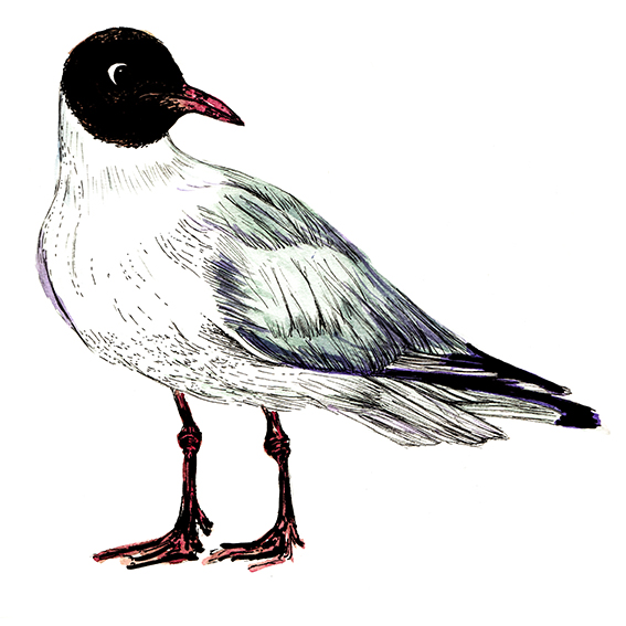 Black Headed Gull (c) Ella Johnston ellasplace.co.uk