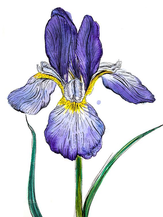 Iris, watercolour and ink (c) Ella Johnston ellasplace.co.uk