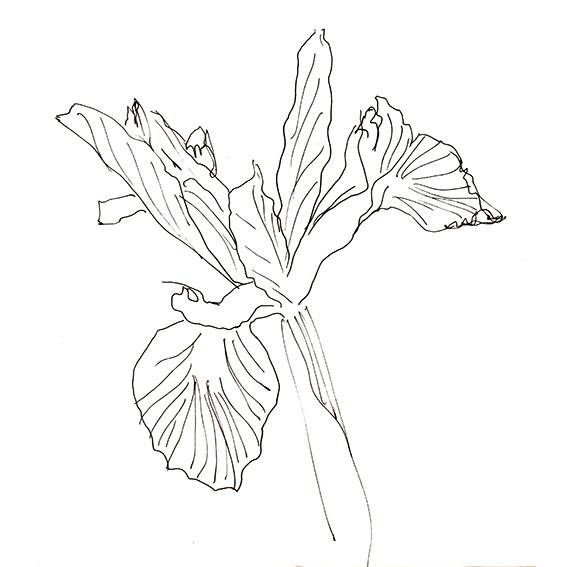 Iris Sketch Ella Johnston ellasplace.co.uk