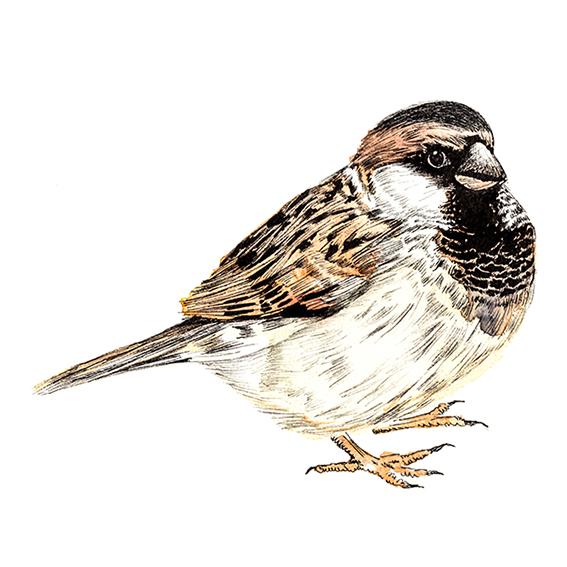 Watercolour sparrow illustration. Ella Johnston. Bird of the Fortnight ellasplace.co.uk