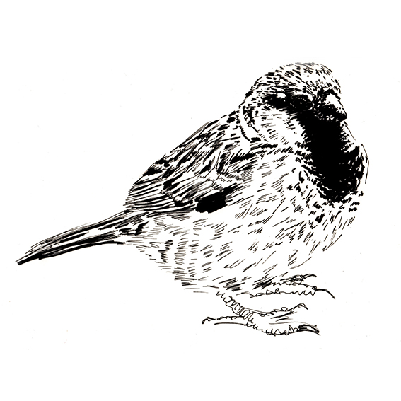 Black and white sparrow drawing, Ella Johnston. ellasplace.co.uk