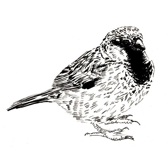 Black and white sparrow drawing, Ella Johnston. ellasplace.co.uk