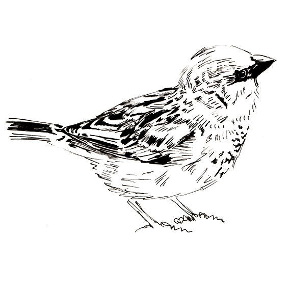 Sparrow black and white sketch, Ella Johnston ellasplace.co.uk