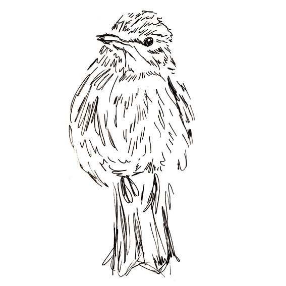 Spotted Flycatcher black and white sketch. Ella Johnston. Bird of the Fortnight ellasplace.co.uk