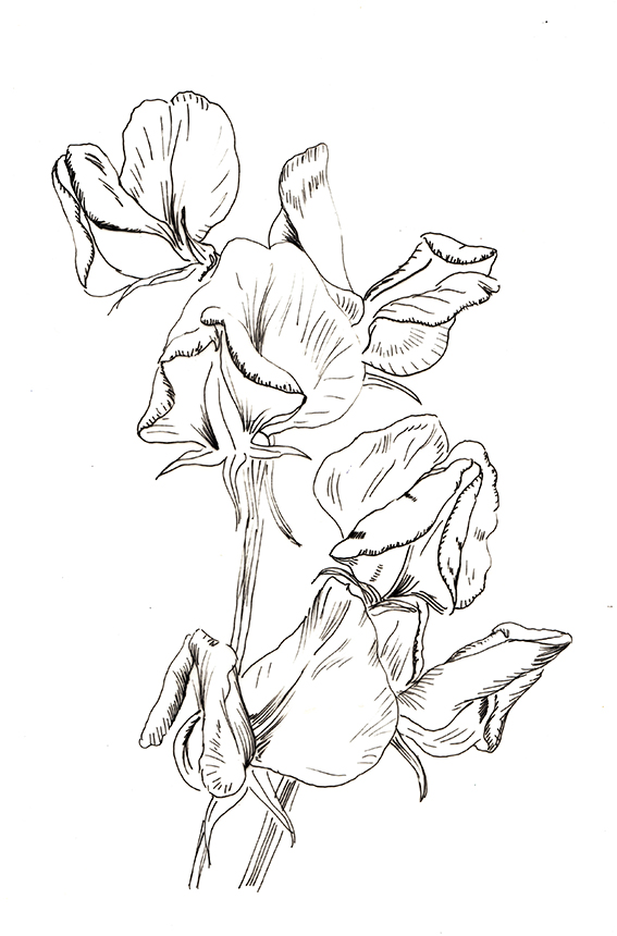 Sweetpea black and white sketch. Ella Johnston. Plant of the Fortnight ellasplace.co.uk