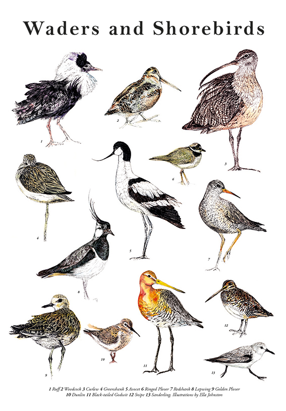 Waders and Shorebirds Illustrated Guide by Ella Johnston