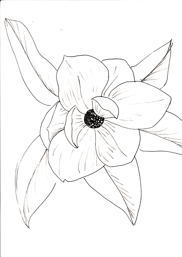 Magnolia black and white sketch. Ella Johnston. Plant of the Fortnight ellasplace.co.uk