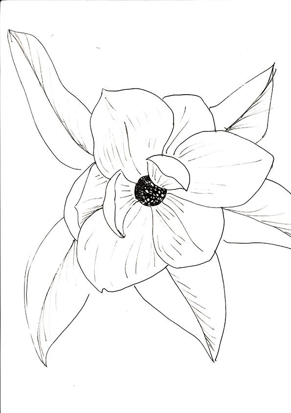 Magnolia black and white sketch. Ella Johnston. Plant of the Fortnight ellasplace.co.uk