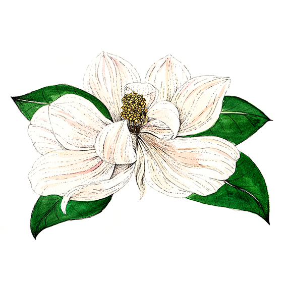 Watercolour and ink magnolia (c) Ella Johnston ellasplace.co.uk