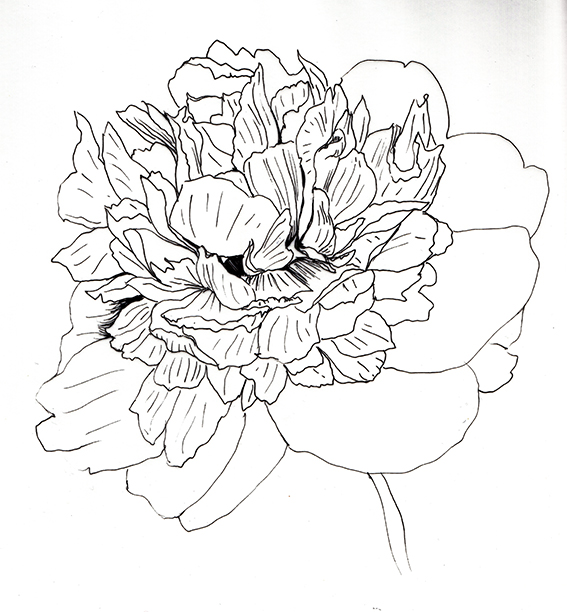 Black and white peony sketch Ella Johnston