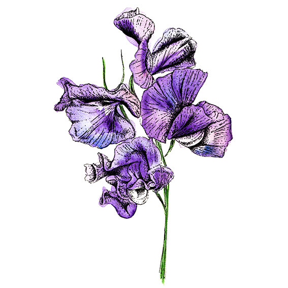 Plant of the fortnight, watercolour purple sweet pea illustration (c) Ella Johnston ellasplace.co.uk