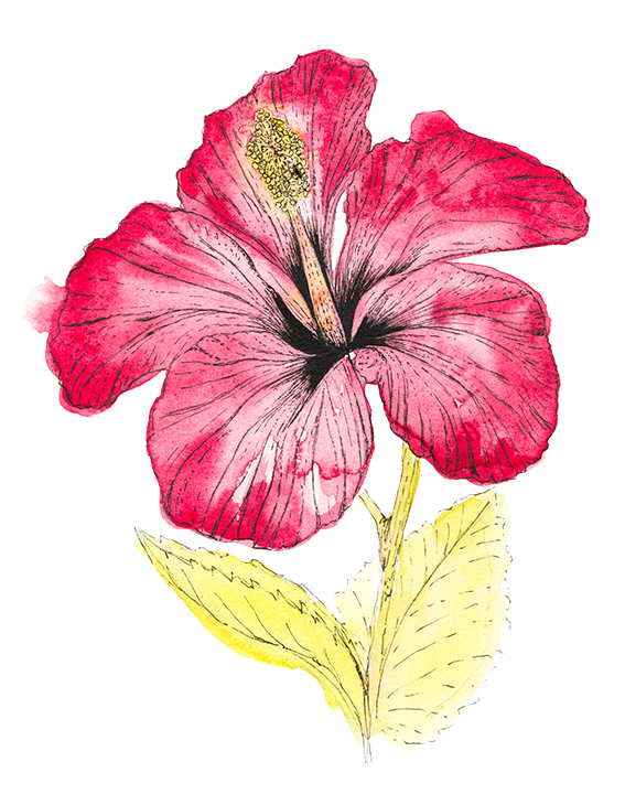 Hibiscus Flower watercolour Ella Johnston