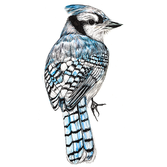 Blue Jay Watercolour Drawing Ella Johnston