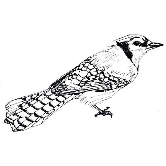 Blue Jay Black and White Blue Jay Drawing Ella Johnston