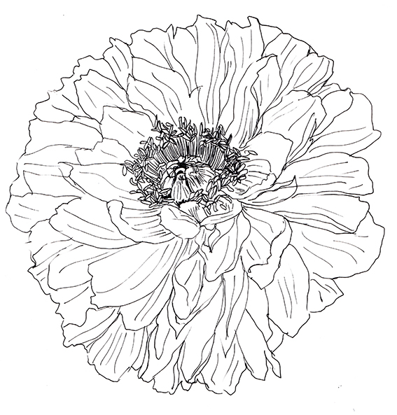 Peony line drawing Ella Johnston