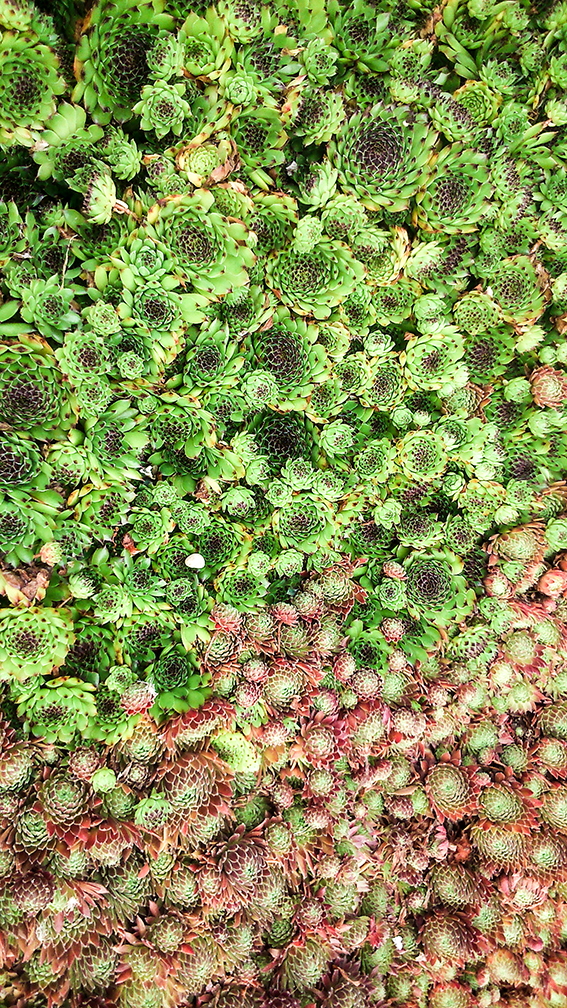 Beth Chatto Succulents Ella's Place