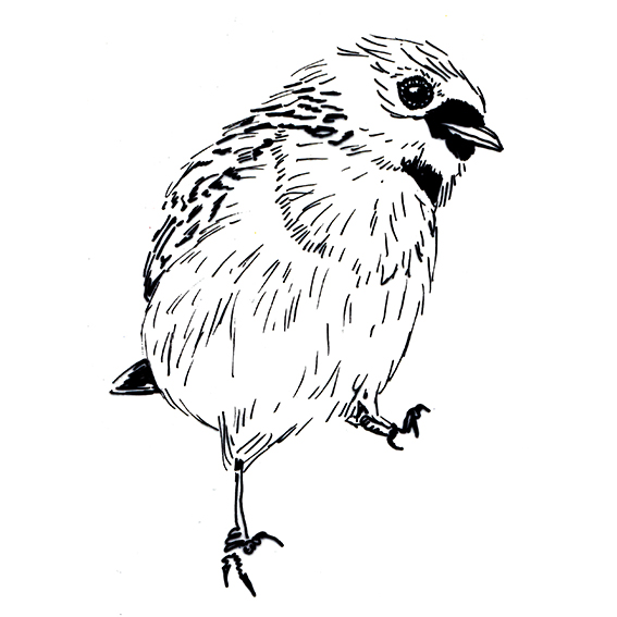 The Green-headed Tanager sketch (c) Ella Johnston