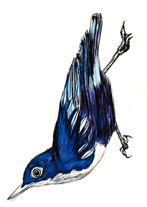Bird of Brazil illustration Ella Johnston