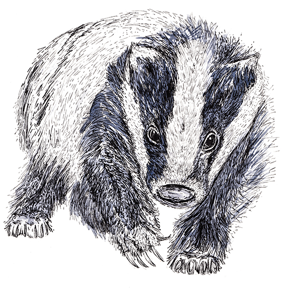 Badger Illustration Ella Johnston