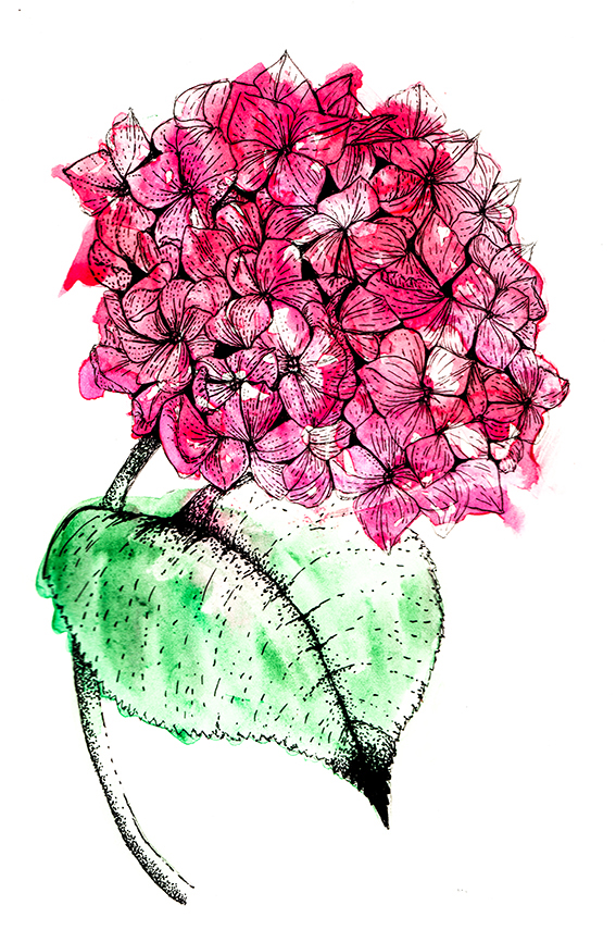 Hydrangea Illustration Ella Johnston ellasplace.co.uk