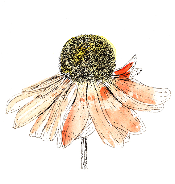 helenium flower illustration Ella Johnston