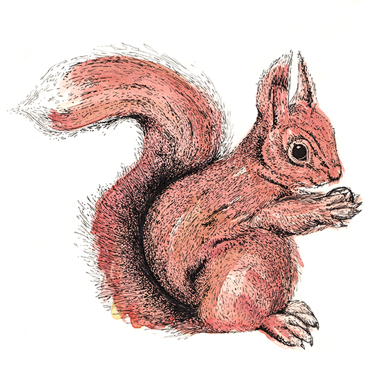 squirrel illustration by Ella Johnston