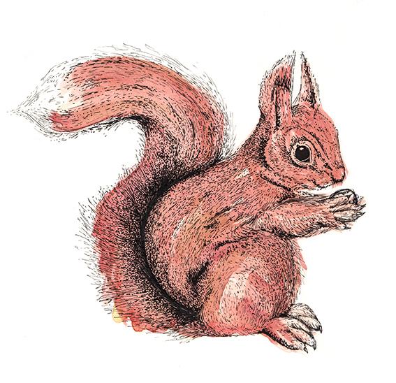 squirrel illustration by Ella Johnston