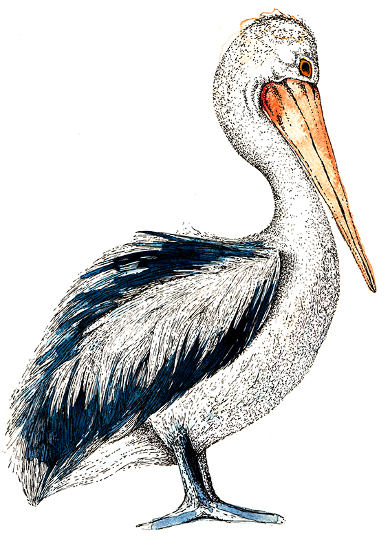 Pelican drawing by Ella Johnston