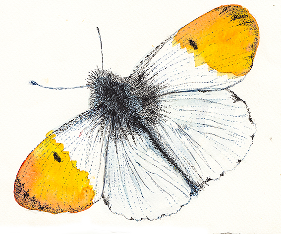 Orange tip butterfly illustration (c) Ella Johnston