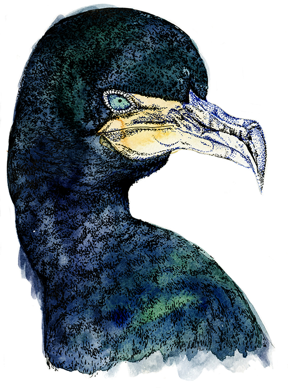 Cormorant Bird illustration (c) Ella Johnston
