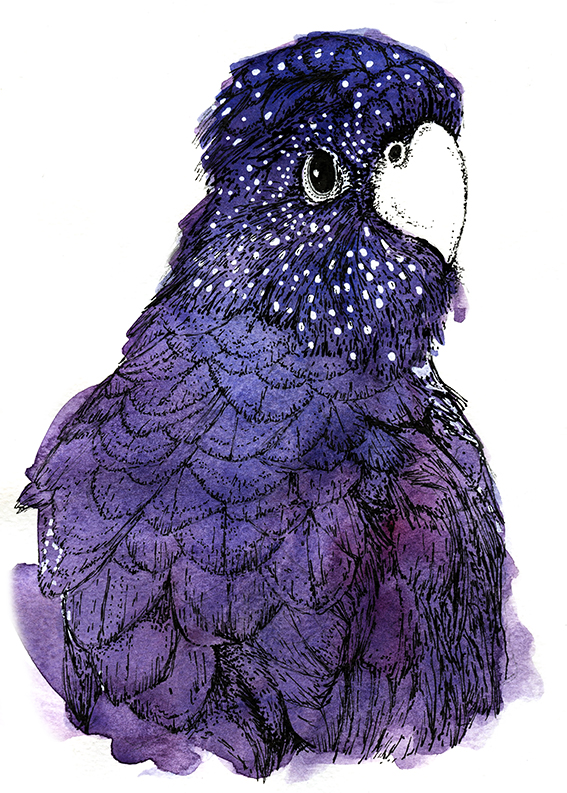 Cockatoo illustration (c) Ella Johnston