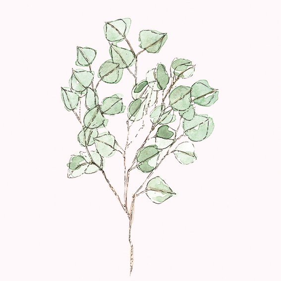 Eucalyptus illustration (c) Ella Johnston