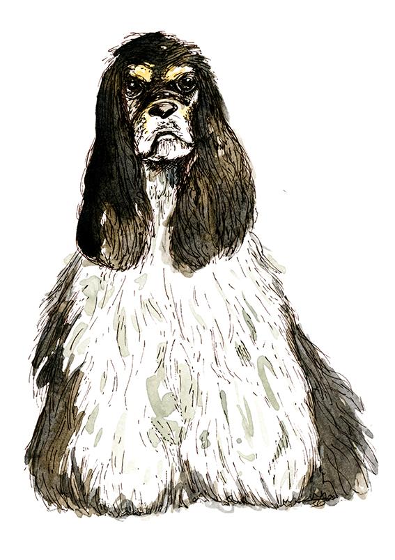 American Cocker Spaniel Illustration (c) Ella Johnston