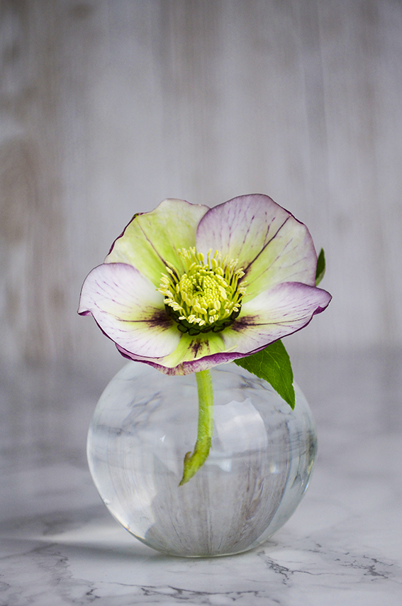Hellebore (c) Ella Johnston
