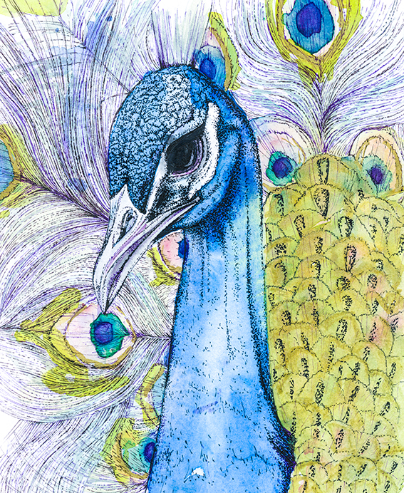Peacock illustration (c) Ella Johnston