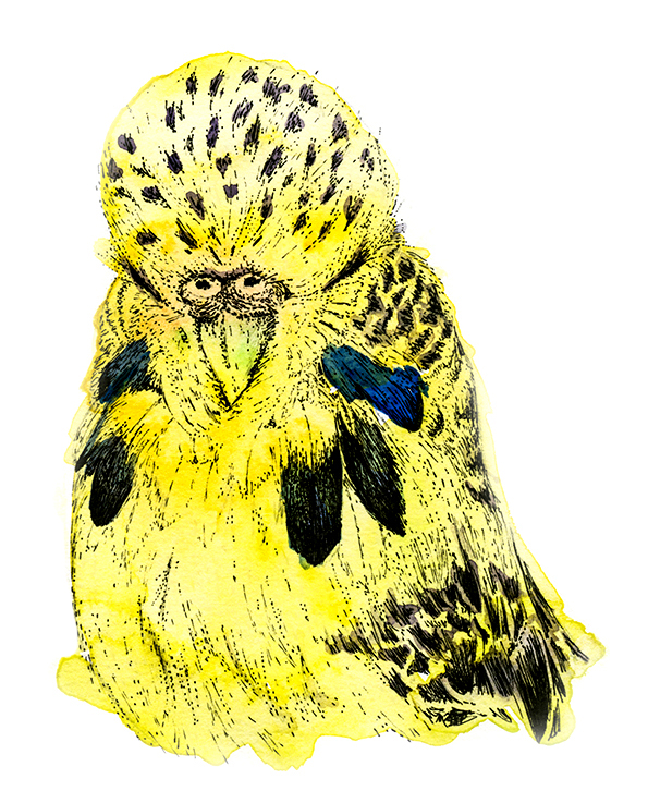 Yellow Budgie Illustration (c) Ella Johnston
